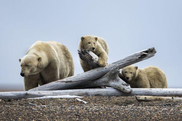 Jääkarhut leikkivät Alaskan pohjoispuolella lähellä Kaktovikin kylää. Alaska lämpenee kaksi kertaa nopeammin kuin muu maapallo.