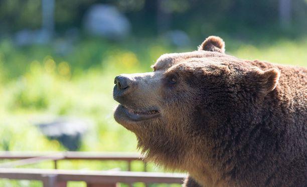 Juuso -karhun taitelijanura alkoi jo viime vuonna.