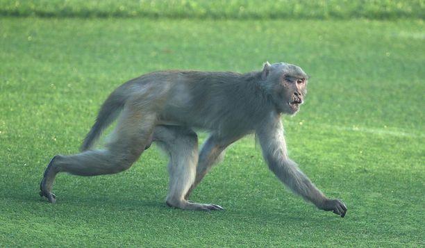 Apinat ovat tuttu näky Intiassa. Kuvan apina tallusteli golfkentällä Delhissä.