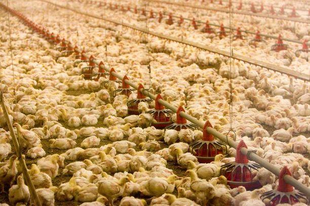 Broilerit kasvavat tipusta teurasvalmiiksi viidessä viikossa. Kuvan broileritila ei liity juttuun.