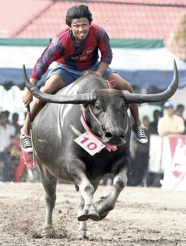 HUMMANI HEI! Villissä idässä thaimaalaiset cowboyt käyttävät ratsuinaan ennen riisinkorjuuta vesipuhveleita.