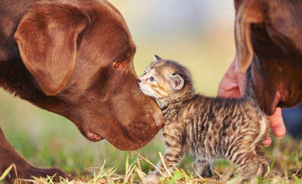 Koirien ja kissojen älykkyyttä ei ole vielä vertailtu vedenpitävästi, mutta hermosolujen suurempi määrä kertoo siitä, että koiria on helpompi kouluttaa.