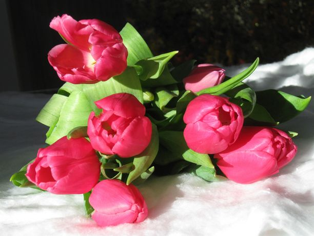 Tuoreet tulppaanit ilahduttivat naistenpäivänä.