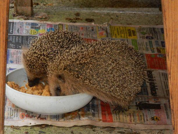 Pääsääntöisesti siilit ruokailevat rauhallisesti.