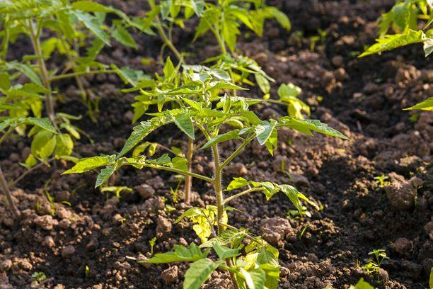 Istuta tomaatintaimet toukokuun lopulla kasvihuoneeseen tai kesäkuun alussa ulos.