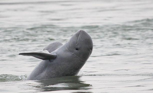 Pelkoa Mekongin alueen delfiinien menettämisestä ei voida kuitenkaan sulkea vielä pois, sillä populaatio on edelleen äärimmäisen uhanalainen.
