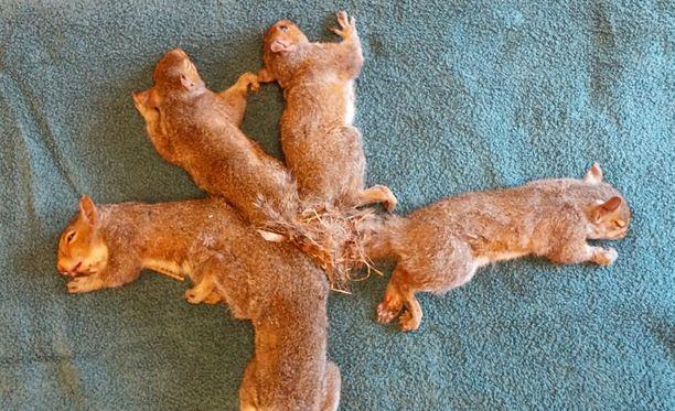 Ilman apua hännistään toisiinsa juuttuneet oravanpoikaset olisivat todennäköisesti kuolleet.