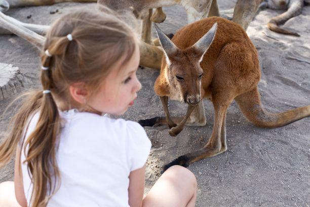 Kengurutkin voivat oppia kommunikointia ihmisille, paljastaa tuore tutkimus. Kuvituskuva.