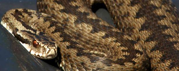 Kyy on Euroopan yleisin myrkkykäärme ja koko maailman pohjoisin käärmelaji.