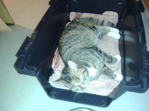 Pahoinpitelijä yritti irrottaa julmasti Vilma-kissan hännän.