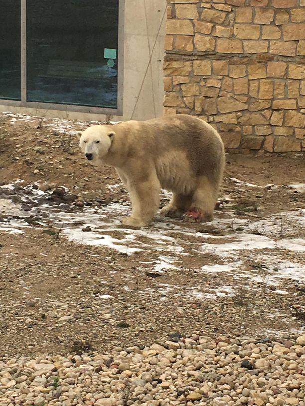 Jääkarhun jalassa oli suuri ja verinen haava.