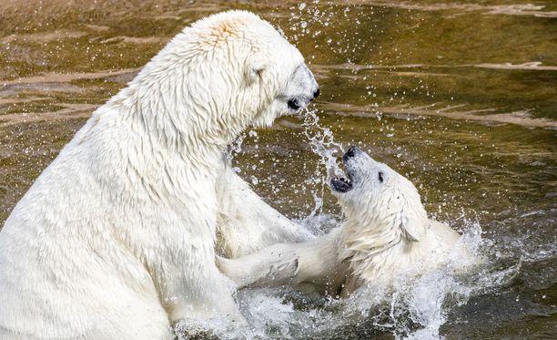 Ranuan jääkarhut pääsevät peuhaamaan lumeen keskiviikkona.