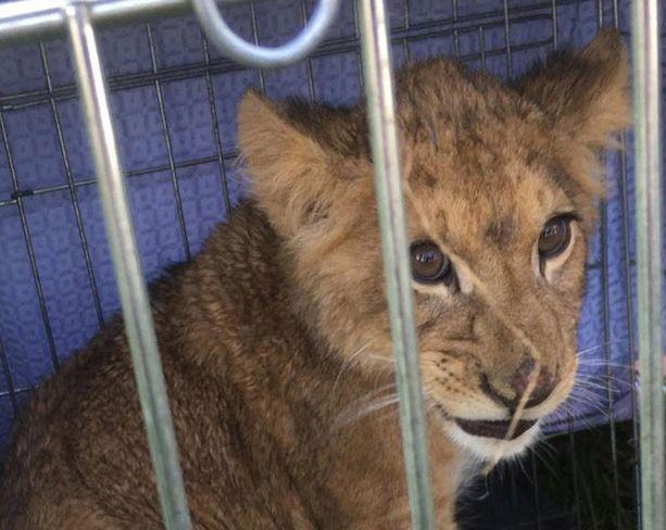 Tämä leijonanpentu löydettiin hylättynä pellolta Hollannin Utrechtissa lokakuussa.
