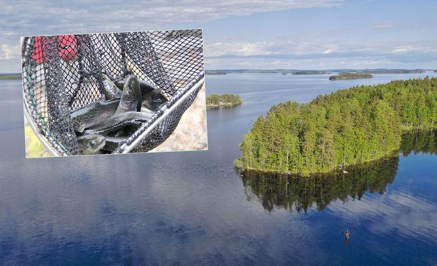 Kuvituskuvassa Kolin kansallispuisto Pielisen järveltä ja järvilohia.