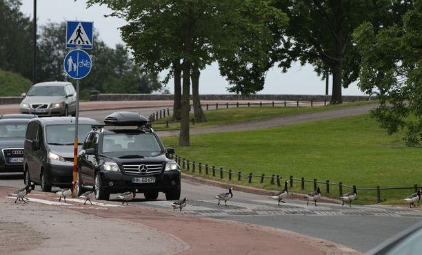 Autot joutuivat odottamaan, kunnes hanhet pääsivät tien toiselle puolelle.