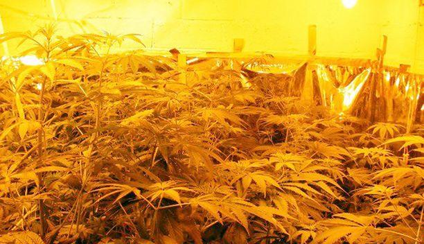 Kannabista viljellään ympäri Suomea.