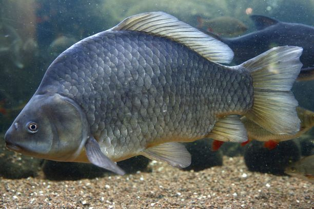 Maretarium esittelee suomalaisia kaloja ja niiden elämää.
