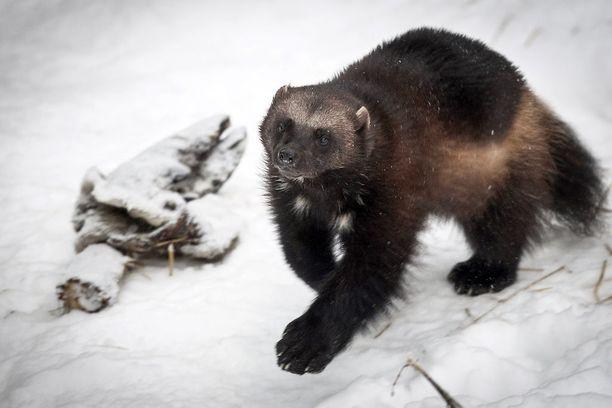 Ahma on rauhoitettu eläin. Nimensä se on saanut ruokailutavastaan: päästyään ruoan ääreen ahma hotkii mahansa nopeasti täyteen niellen isotkin lihakimpaleet kokonaisina. Kuvan ahma asustaa Ranuan eläinpuistossa.