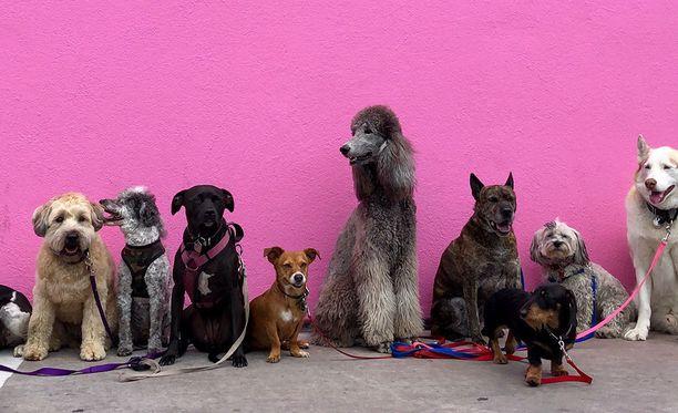 Koirien tunnistusmerkintä ja rekisteröinti tulee uuden eläinsuojelulain myötä pakolliseksi.