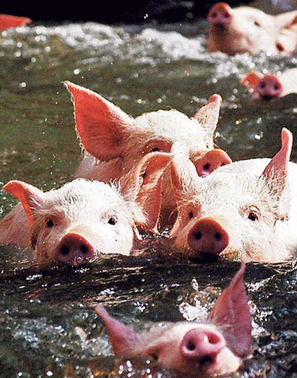 Kymmenkunta sikaa osallistui viikonvaihteessa kiinalaisessa Jiangxin maakunnassa järjestettyyn uimakilpailuun. Kiinassa käynnistyy sian vuosi 18. helmikuuta ja kilpailun osanottajien henkilökohtainen hygienia on nyt kunnossa uudenvuoden viettoon.