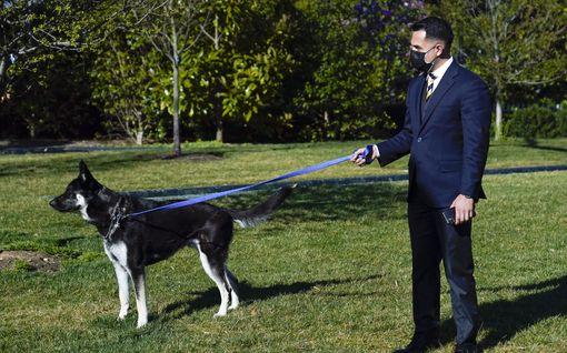 Joe Bidenin Major-koira puri taas