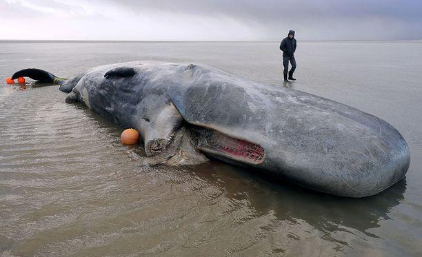 Rannalle ajautunutta valasta ei voitu pelastaa Cuxhavenissa Saksassa. Kuva on otettu 31.1.2016.