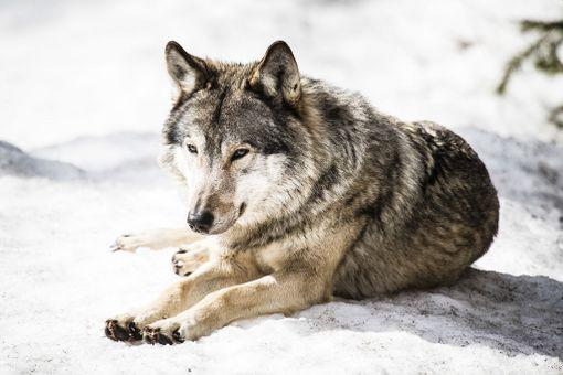Marko Lindin mukaan tänä vuonna sudet ovat tappaneet yhteensä ainakin 35 koiraa.