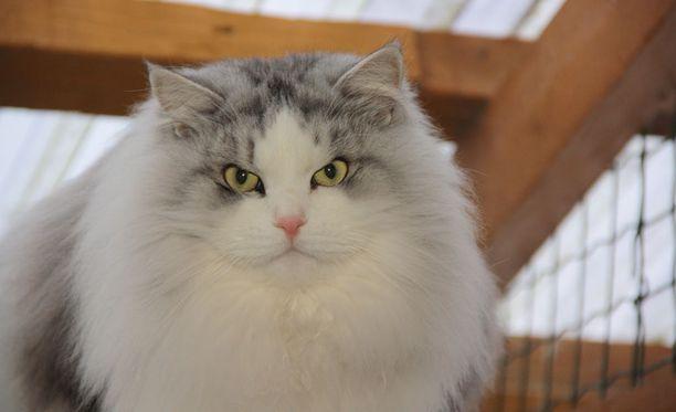 Lumikissan Nopsajalka eli Veeti on arvioitu maailman kauneimmaksi kissaksi Haagin kansainvälisessä kissanäyttelyssä.