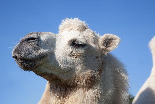 Kaksikyttyräinen kameli on harvinainen näky Norjan pohjoiskolkissa. Kuvan kameli ei liity tapaukseen.