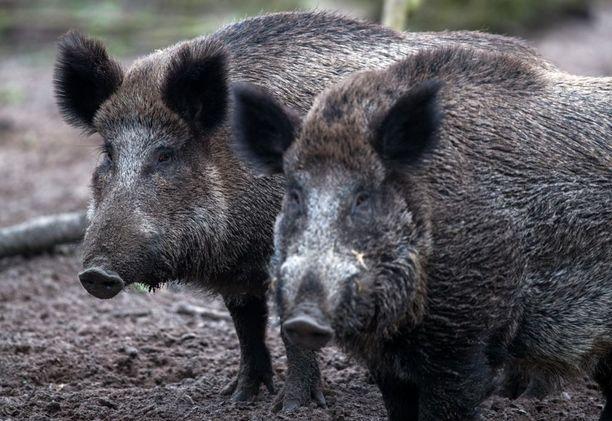 Villisikojen metsästyksen odotetaan kasvavan afrikkalaisen sikainfluenssan leviämisen pelossa. Kuvituskuva.