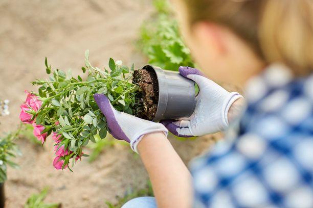 Myös nuoret aikuiset ovat löytäneet puutarhanhoidon. Kuvituskuva.