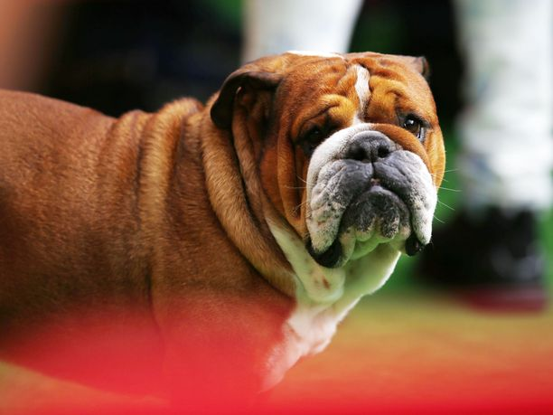 Lewis Hamiltonin Roscoe-koira tekee toisinaan mallintöitä.