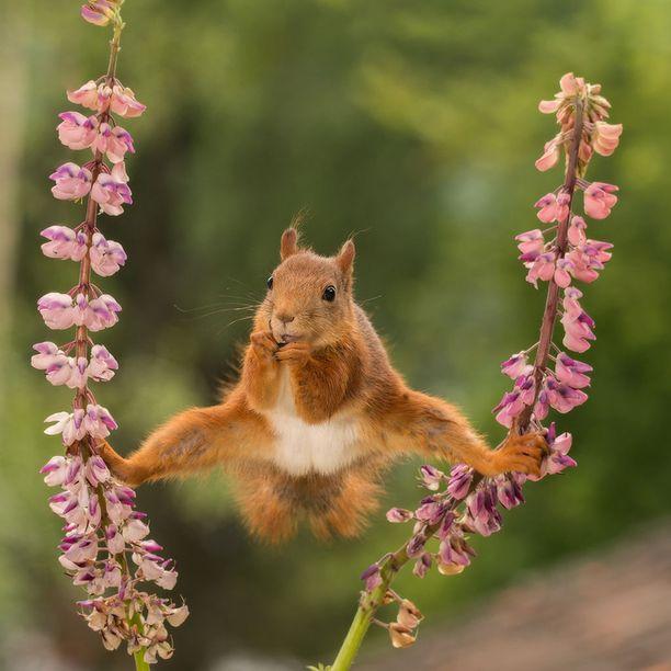 2018 FINALISTI Ruotsalainen orava esitteli akrobaattitaitojaan kahden lupiinin välissä.
