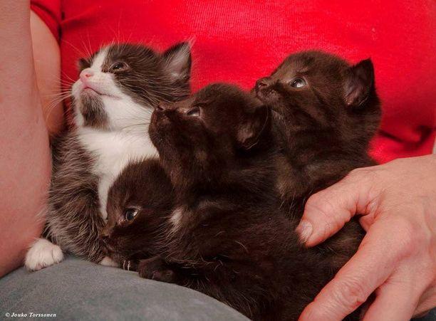 SEY:n mukaan kissat kärsivät vähäarvoisen lemmikin maineesta ja niiden hoito laiminlyödään helposti. Nämä ulkorakennukseen syntyneet villiemon pennut pääsivät sijaiskodin hoiviin.