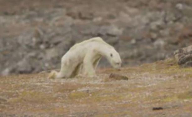 Jääkarhu nääntyi nälkään Kanadan Baffininsaarella.