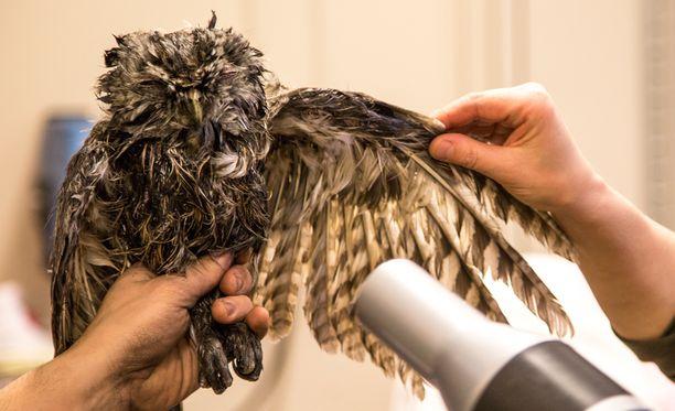 Nokinen lehtopöllö pääsi Korkeasaaren villieläinsairaalaan huolelliseen putsausoperaatioon.