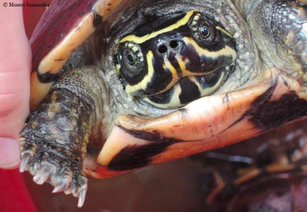 Etanoita syövä kilpikonna löydettiin Thaimaasta Udon Thanin markkinoilta, jossa sitä myytiin muiden kilpikonnien joukossa.