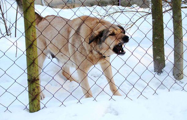 Käräjäoikeuden mukaan maatilan koirat ovat todistetusti karanneet aidan takaa tilustielle. Kuvituskuva.