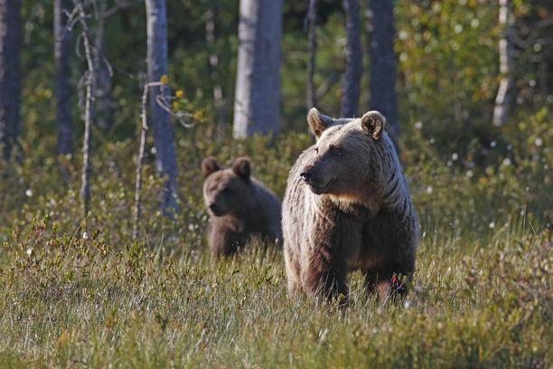 Karhun emoa ei näkynyt metsästystilanteessa.