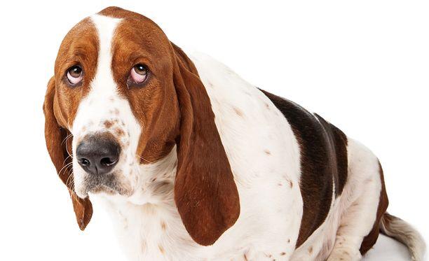 Pahojaan tehneen koiran tunnistaa usein sen ilmeestä. Kuvan haukku ei liity tapaukseen.