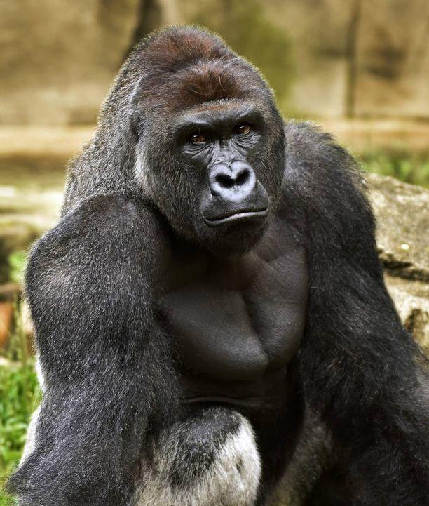 Harambe-gorilla joutui kuolemaan, kun pikkupoika putosi sen aitaukseen Yhdysvalloissa.