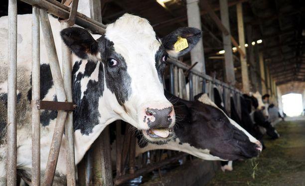 Lihan ja maitotuotteiden tuotanto kuormittaa uuden tutkimuksen mukaan ympäristöä jopa lentoliikennettä enemmän.