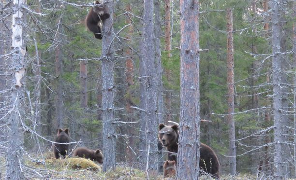 Emo kehotti poikasia kiipeämään puuhun kuvaajan nähtyään.