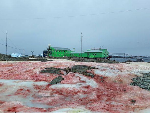 Levä värjäsi lumen punaiseksi Antarktiksella.