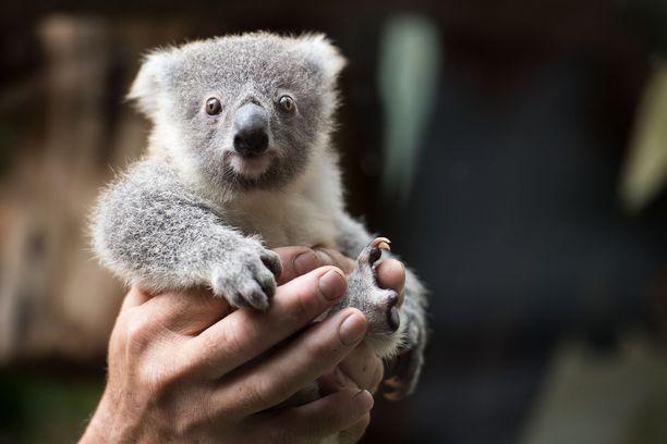Koalat ovat suloisia, eukalyptusten lehdillä herkuttelevia otuksia.