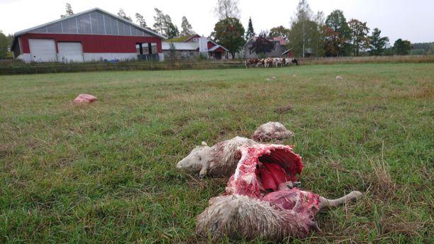 Lohduton näky. Sudet kaivautuivat aidan ali, ja raatelivat lampaita lauantain ja sunnuntain välisenä yönä Kouvolan Sippolassa.
