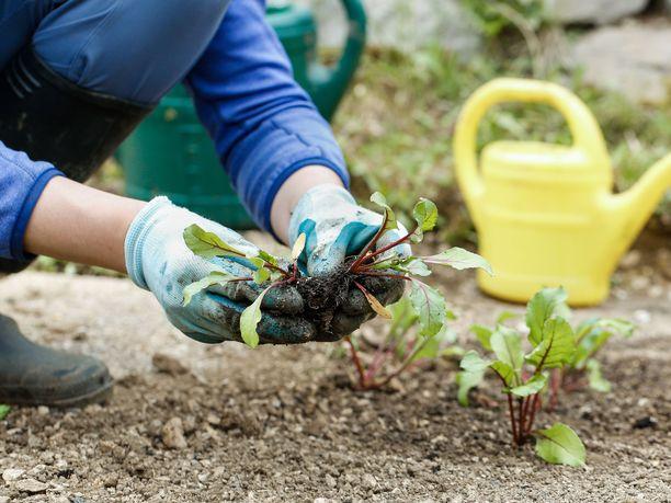 Poikkeustila-aika sai monet suomalaiset hakeutumaan puutarhahommiin.