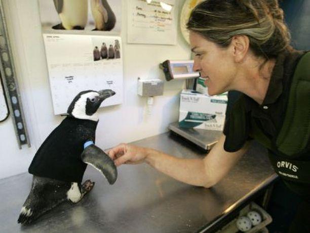 Pierre-pingviinin märkäpuku oli meribiologi Pam Schallerin idea.