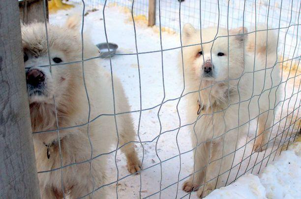 Koirien turkeissa on verijälkiä merkkinä siitä, että ne ovat tapelleet keskenään. Vasemmalla olevan koiran poskessa on haava.
