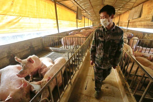 Useat tutkijat ovat keskittyneet koronavirukseen, mutta Kiinan sikaloissa muhii jo uusi uhka.